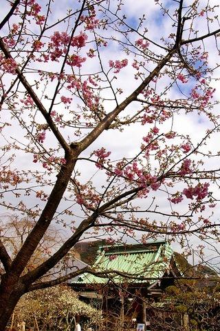 Hasederakawaduzakura100203