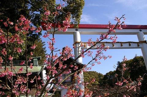 Kamakuragukawaduzakura100209