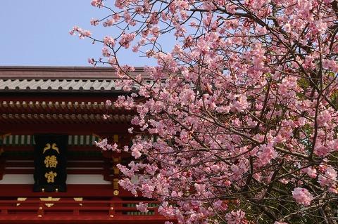 Hachimangukawaduzakura100224