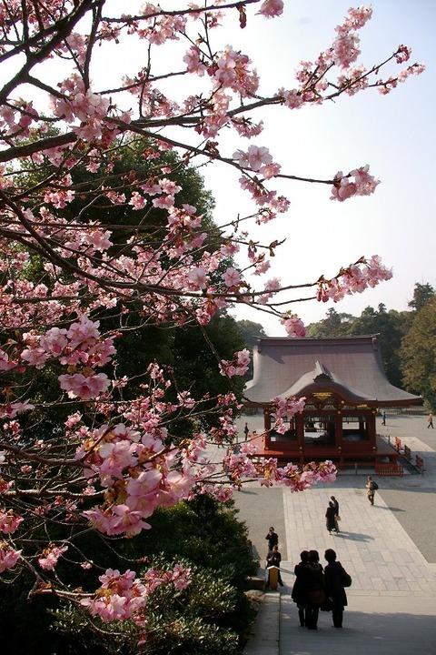Hachimangukawaduzakura1002243