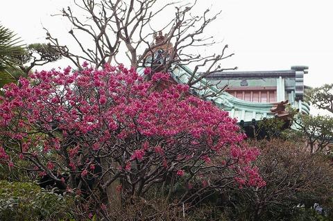 Daigyojikanhizakura100312
