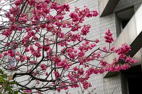Daigyojikanhizakura1003122