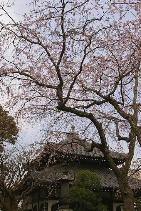 Hongakujisidarezakura1003233