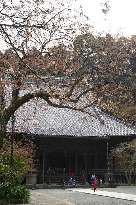 Myohonjisakura100323