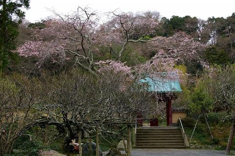 Kosokujisidarezakura100326
