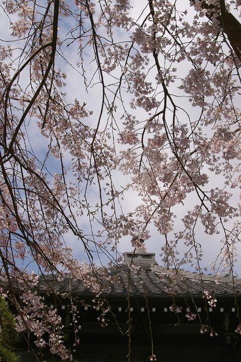 Hongakujisidarezakura100329