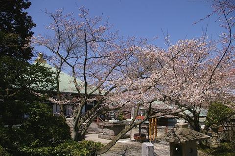 Choshojisakura1003303
