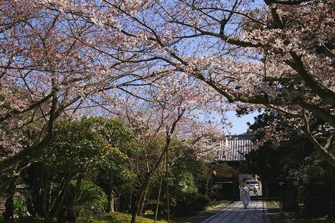 Choshojisakura1003305
