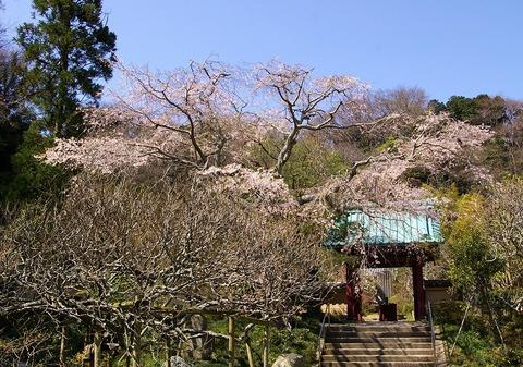 Kosokujisidarezakura100330