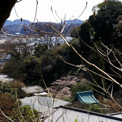 Kosokujisidarezakura1003303