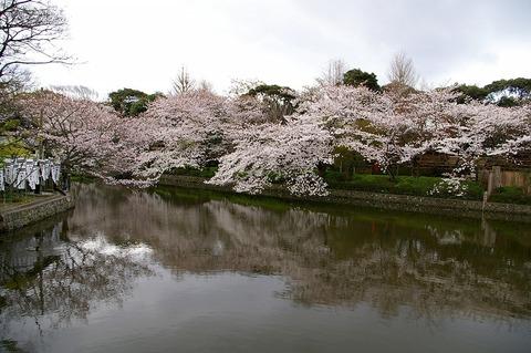 Hachimangusakura100401