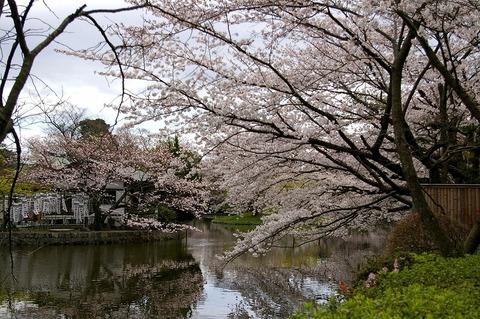 Hachimangusakura1004012