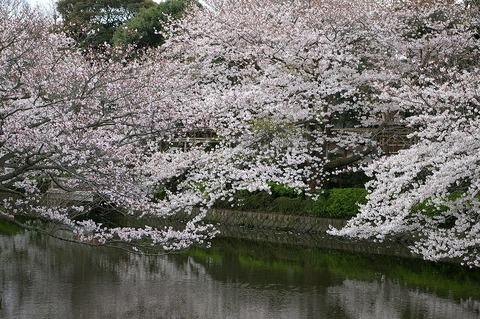 Hachimangusakura1004013