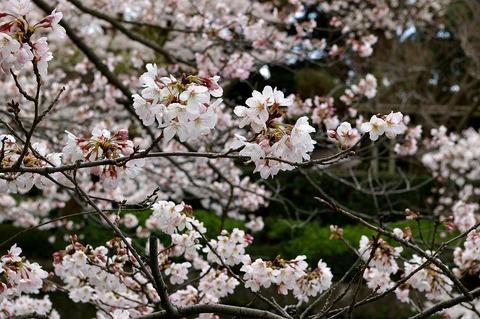 Hachimangusakura1004014