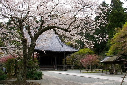 Myohonjisakura100401