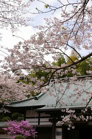 Hokokujisakura100403
