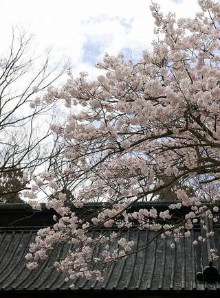 Myohonjisakura1004012