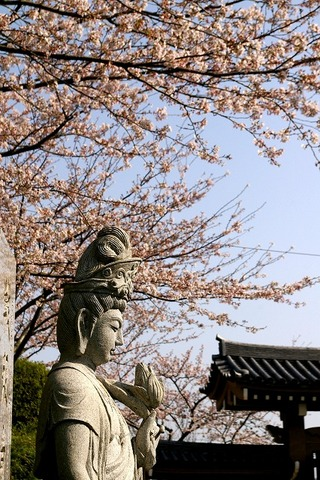 Ofunakannonsakura1004064_2