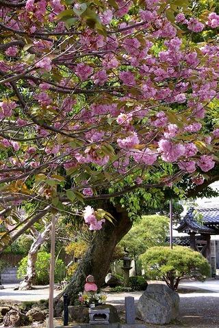 Hongakujiyaezakura100424