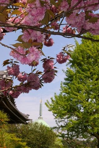 Hongakujiyaezakura1004242