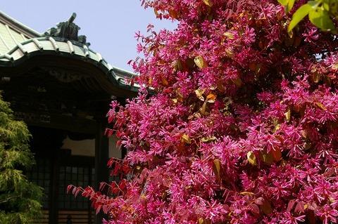 Shugenjitokiwamansaku100426