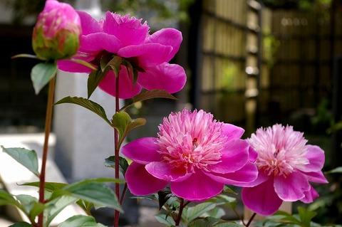 Hasederasyakuyaku100516