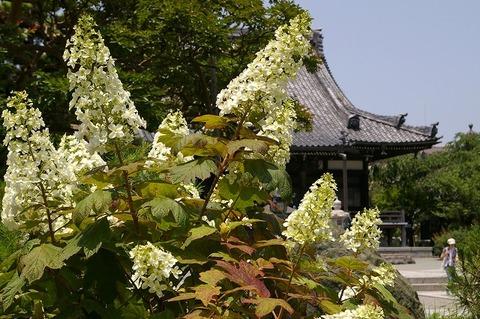 Hongakujikasiwabaajisai100612