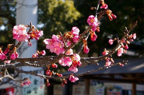 Kamakuragukawaduzakura110122
