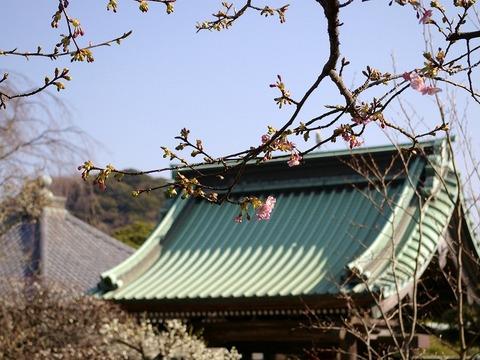 Hasederakawaduzakura110207_2