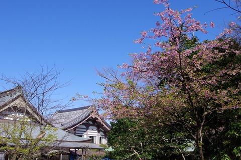 Komyojisakura110305