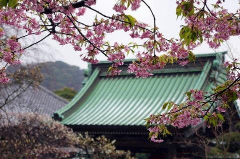 Hasederakawaduzakura110307