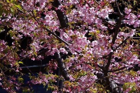 Ryukojikawaduzakura110310