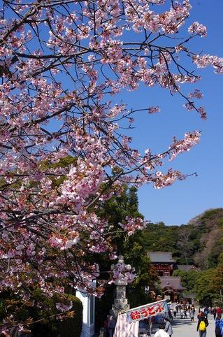 Hachimangusakura110328