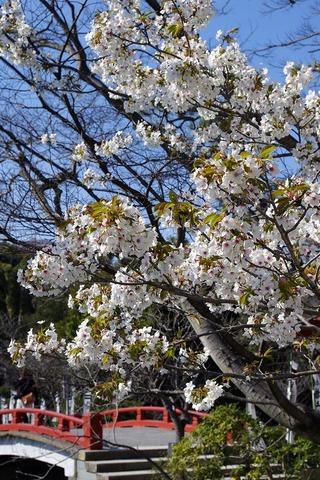 Hachimangusakura1103282