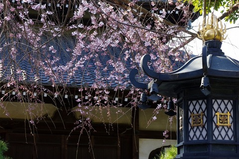 Hongakujisidarezakura110328