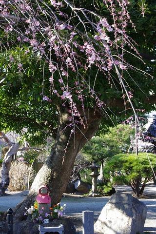 Hongakujisidarezakura1103282