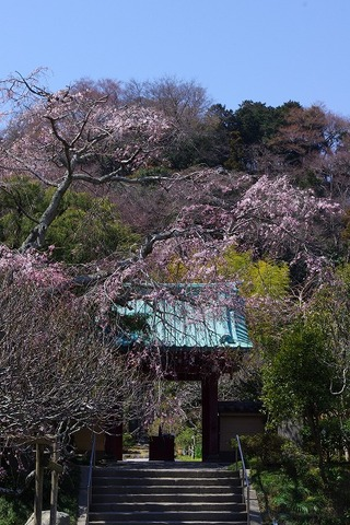 Kosokujisidarezakura110329