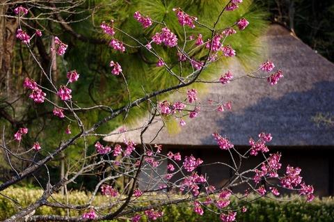 Ryuhojikanhizakura110330