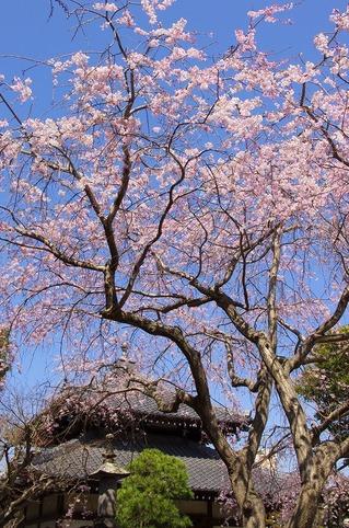 Hongakujisidarezakura1104012