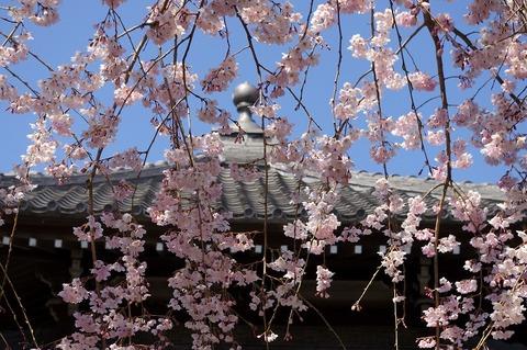 Hongakujisidarezakura1104015