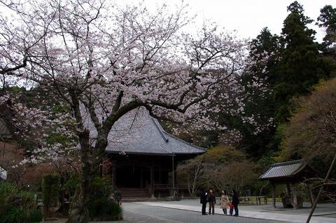 Myohonjisakura110403
