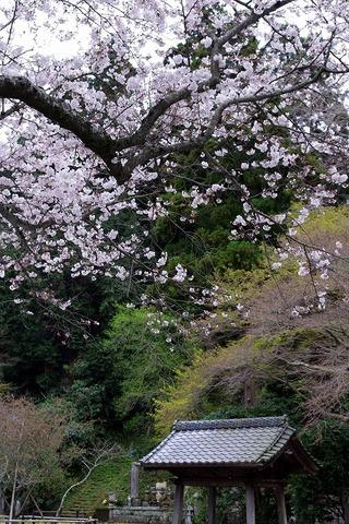 Myohonjisakura1104032