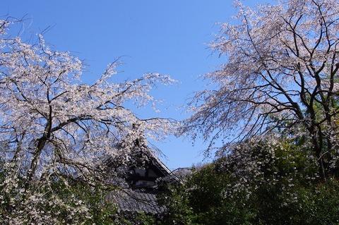 Ankokuronjisakura1104062