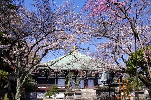Choshojisakura110406