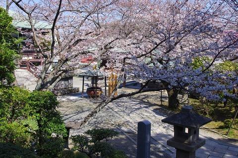 Choshojisakura1104063