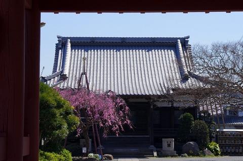 Honkojisidarezakura110406