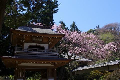 Jochijisidarezakura110405