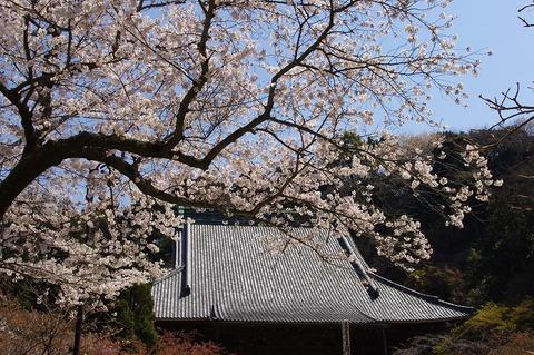Myohonjisakura110406