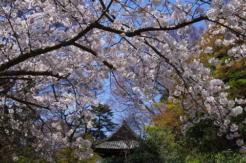 Myohonjisakura1104062