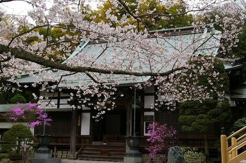 Hokokujisakura110407